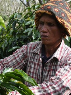Difficult picking (due to eneven ripening) in Lintong, Sumatra